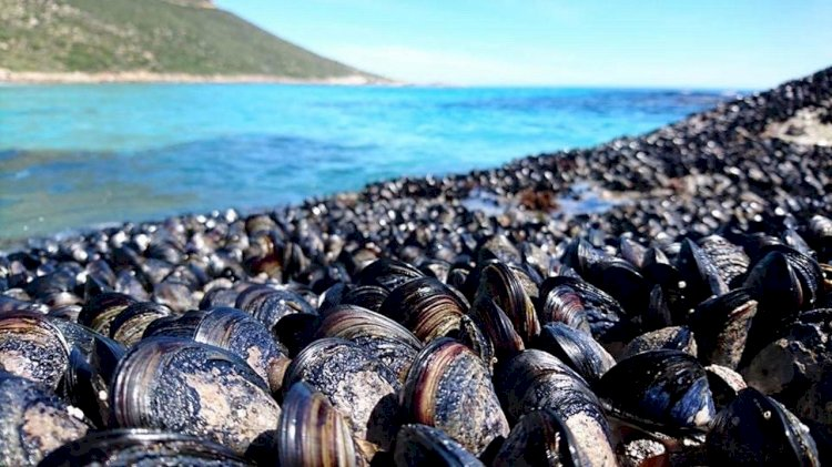 Study: 'Wrong-way' migrations stop shellfish from escaping ocean warming