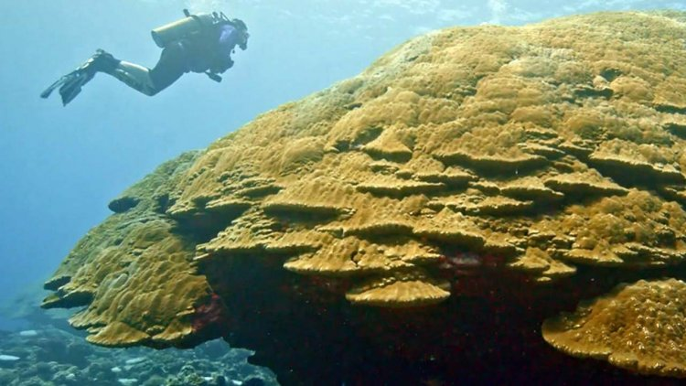 NOAA researchers and partners find new record-sized coral colony in American Samoa