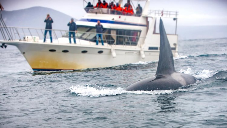 Female resident orcas especially disturbed by vessels, new research shows