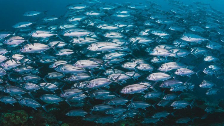 Study of US tuna fisheries explores nexus of climate change, sustainable seafood