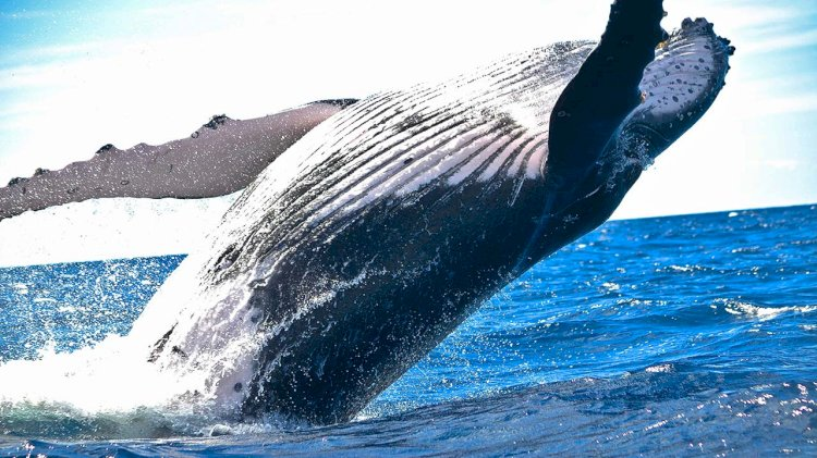 Researchers use the innovative method to weigh whales